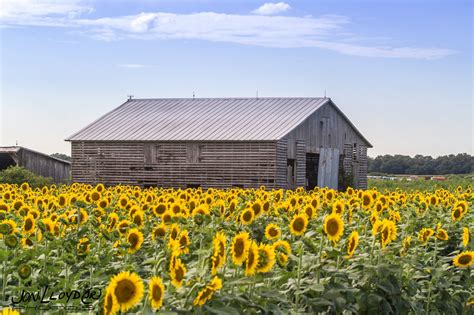 Most People Don't Know About This Magical Sunflower Field