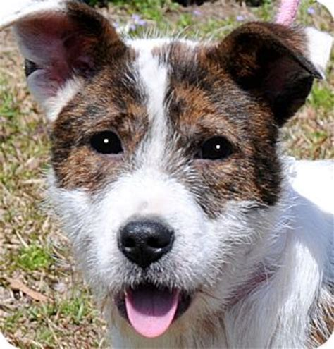 """LEANNE(ADORABLE """"SCRUFFY"""" PUP! 