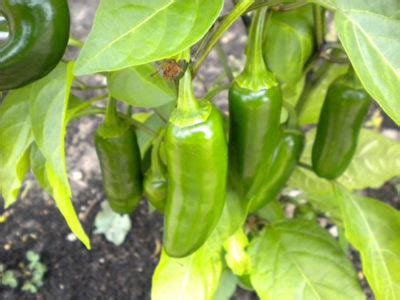 Easy Gardening: Tips For Growing 4 Popular Peppers - Off
