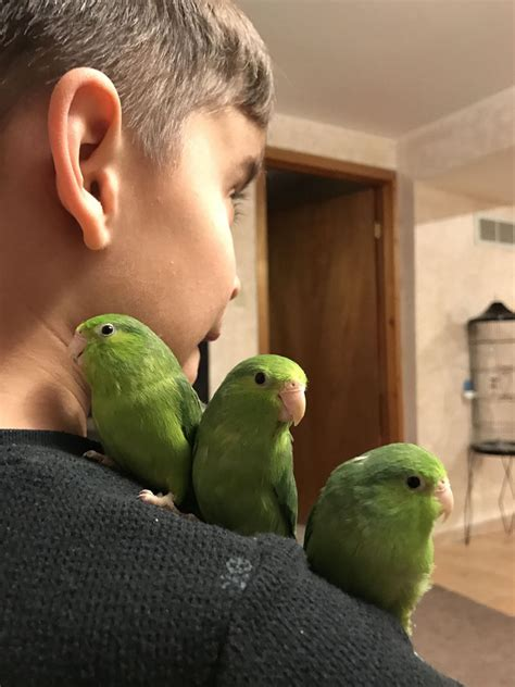 Hand raised baby parrotlets for sale FOR SALE ADOPTION