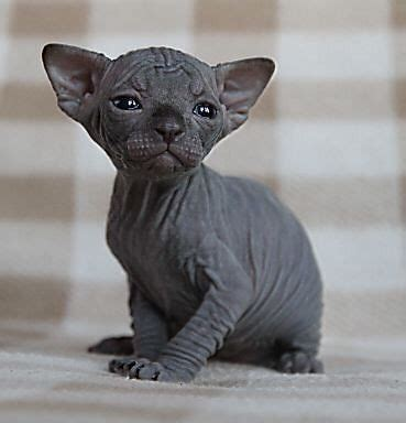 344 best images about Sphynx Cats on Pinterest   Cats