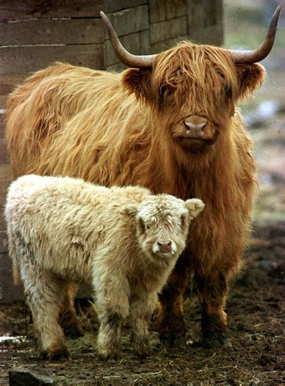Highland cattle to boost Richmond Park conservation