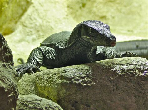 20 best images about black water monitor on Pinterest
